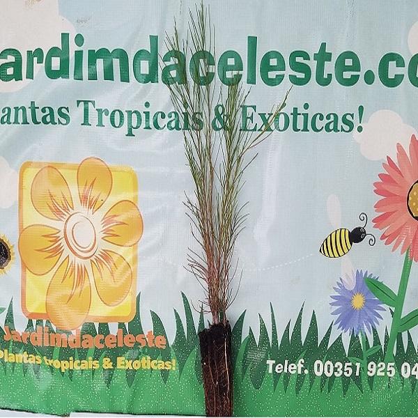 Casuarina equisetifolia - jardimdaceleste.com