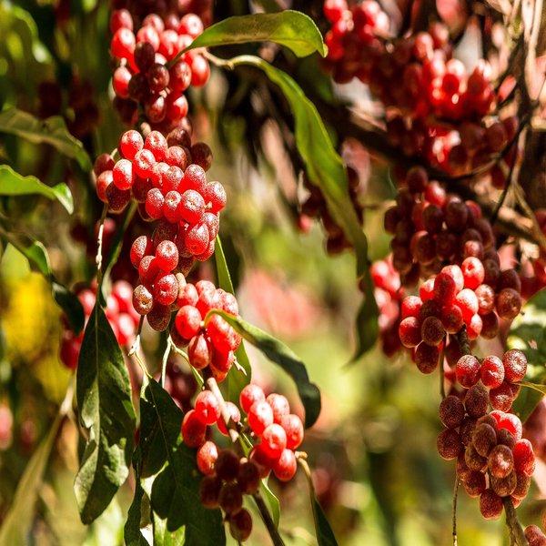 Eleagnus umbellata (Baga japonesa) - Plant - 20€ - Jardimdaceleste.com - Plantas do Bosque & Jardim!