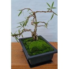 BONSAI - Phillyrea angustifolia - 47€ - Jardimdaceleste.com - Plantas do Bosque & Jardim!