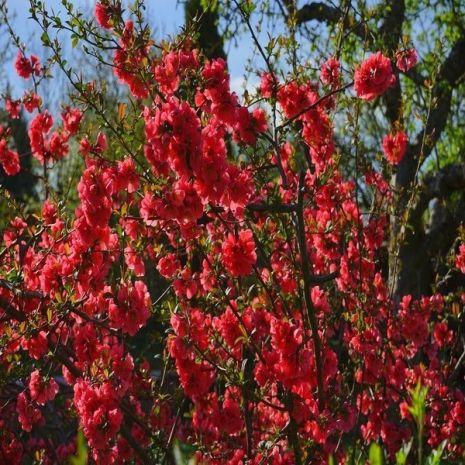 Chaenomeles japonica - Planta - 8.5€ - Jardimdaceleste.com - Plantas do Bosque & Jardim!