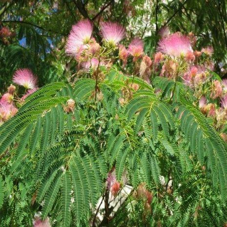 Albizia julibrissin (Árvore-da-seda) - Planta - 18€ - Jardimdaceleste.com - Plantas do Bosque & Jardim!