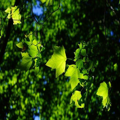 Acer pseudoplatanus - Planta - 16.5€ - Jardimdaceleste.com - Plantas do Bosque & Jardim!