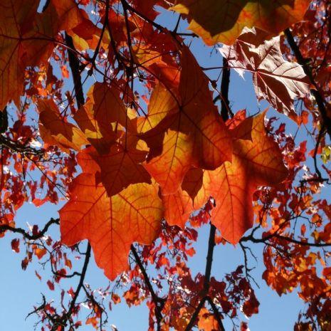Acer platanoides - Planta - 15.55€ - Jardimdaceleste.com - Plantas do Bosque & Jardim!