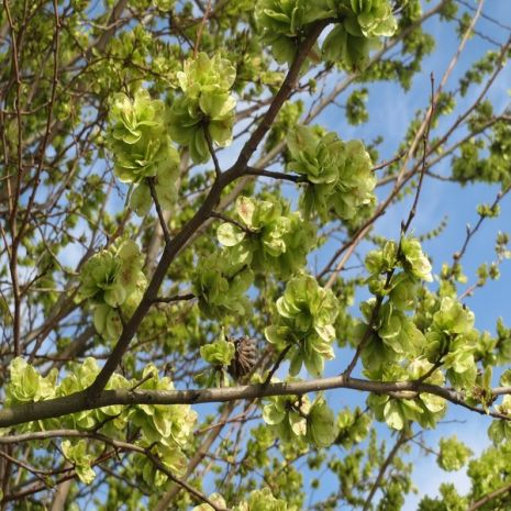 Ulmus minor - Planta - 15.25€ - Jardimdaceleste.com - Plantas do Bosque & Jardim!