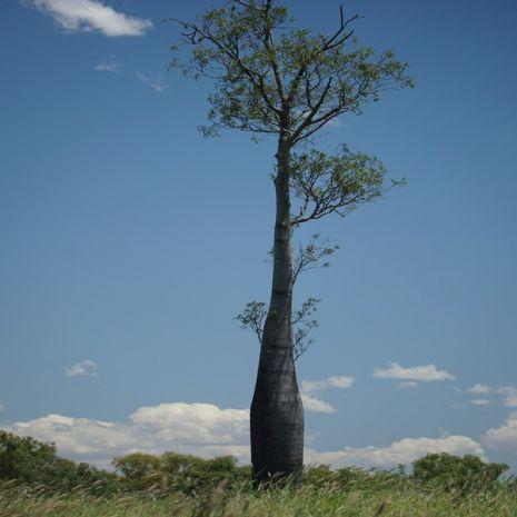Brachychiton rupestris (Árvore-garrafa) - Plant - 14.95€ - Jardimdaceleste.com - Plantas do Bosque & Jardim!