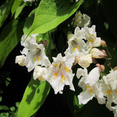 Catalpa bignonioides - Plant - 9.95€ - Jardimdaceleste.com - Plantas do Bosque & Jardim!