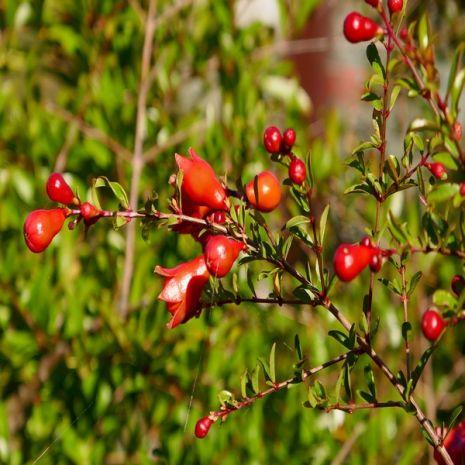 Punica granatum (Romãzeira) - Planta - 8.95€ - Jardimdaceleste.com - Plantas do Bosque & Jardim!