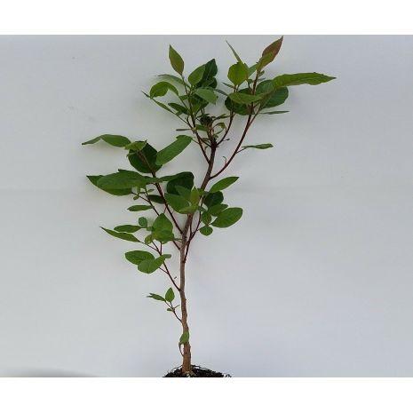 Pistacia terebinthus - Planta - 7.55€ - Jardimdaceleste.com - Plantas Tropicais & Exóticas!