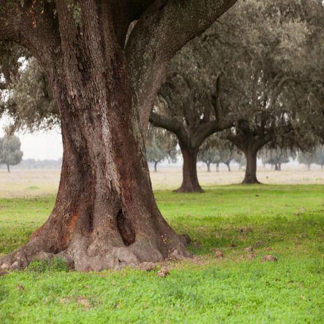 Quercus ilex ballota - Planta - 7.95€ - Jardimdaceleste.com - Plantas do Bosque & Jardim!