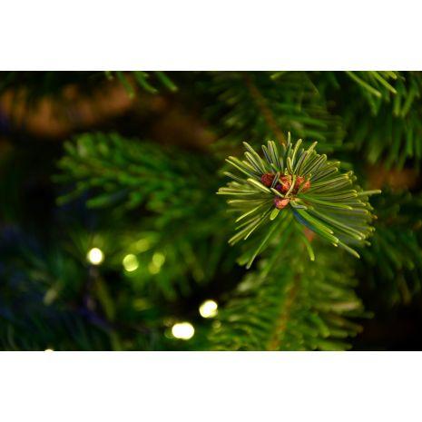 Picea glauca conica (Pinheiro de Natal)  - Planta - 9.5€ - Jardimdaceleste.com - Plantas do Bosque & Jardim!