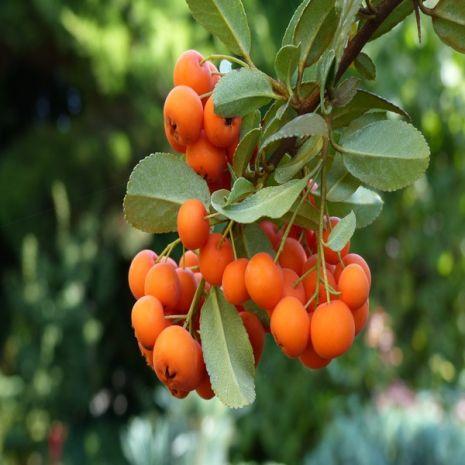 Sorbus domestica (Sorva) - Planta - 12.75€ - Jardimdaceleste.com - Plantas do Bosque & Jardim!
