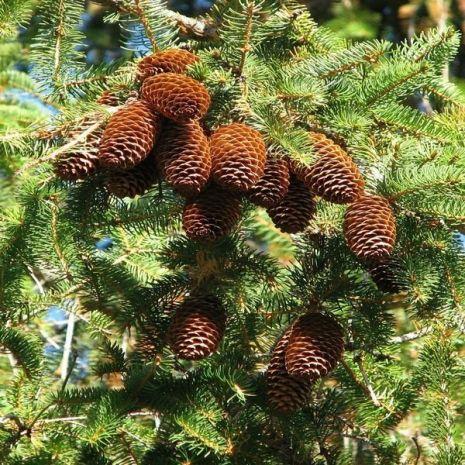 Picea abies 'Little Gem' (Espruce-da-Noruega) - Planta - 8€ - Jardimdaceleste.com - Plantas do Bosque & Jardim!
