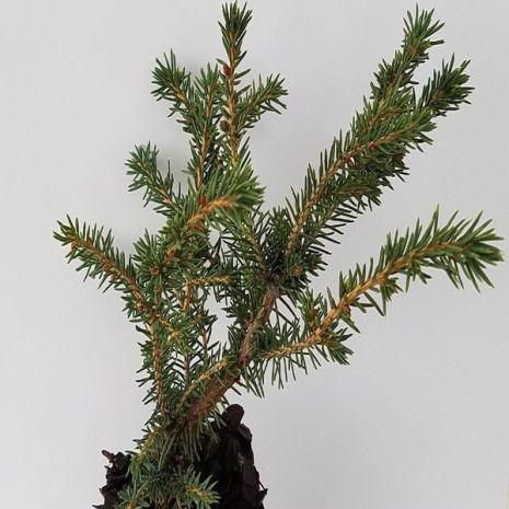 Picea abies 'Nidiformis' (Espruce-Europeu) - Plant - 8.5€ - Jardimdaceleste.com - Plantas do Bosque & Jardim!