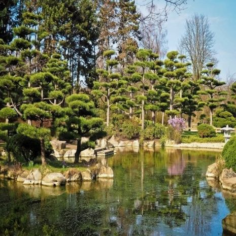Pinus mugo mughus (Pinheiro-das-montanhas-suiças) - Planta - 16€ - Jardimdaceleste.com - Plantas do Bosque & Jardim!