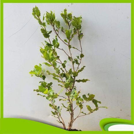 Quercus coccifera (Carrasco) - Planta - 15.5€ - Jardimdaceleste.com - Plantas do Bosque & Jardim!