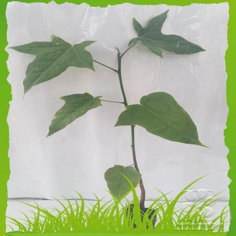 Brachychiton acerifolius - Plant - 8.5€ - Jardimdaceleste.com - Plantas do Bosque & Jardim!
