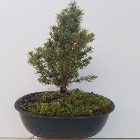Bonsai - Picea glauca 'Daisy White' (Espruce-Branco) - 35€ - Jardimdaceleste.com - Plantas do Bosque & Jardim!