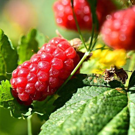 Buckingham Tayberry (Rubus fruticosus x R. idaeus) - Plant - 17€ - Jardimdaceleste.com - Plantas do Bosque & Jardim!