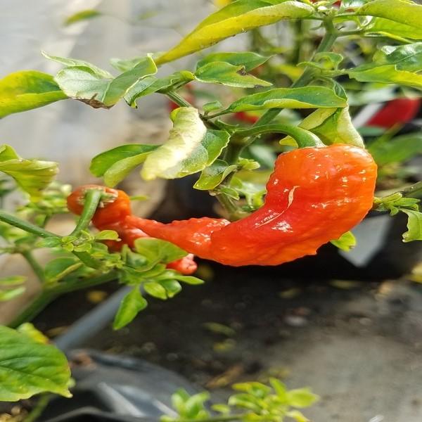 Piri-Piri - Naga jolokia (Ghost Pepper) - Sementes - 3.45€ - Jardimdaceleste.com - Plantas Tropicais & Exóticas!