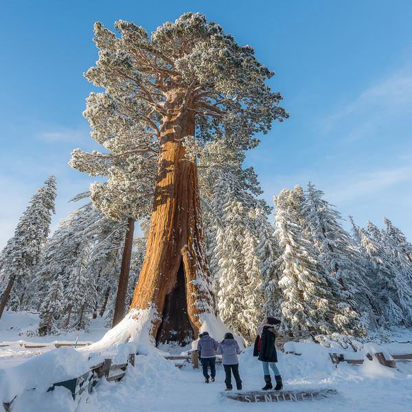 Sequoiadendron giganteum - Plante - 5.7€ - Jardimdaceleste.com - Plantas Tropicais & Exóticas!