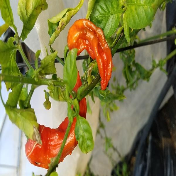 Piri-Piri - Naga jolokia (Ghost Pepper) - Seeds - 3.45€ - Jardimdaceleste.com - Plantas do Bosque & Jardim!