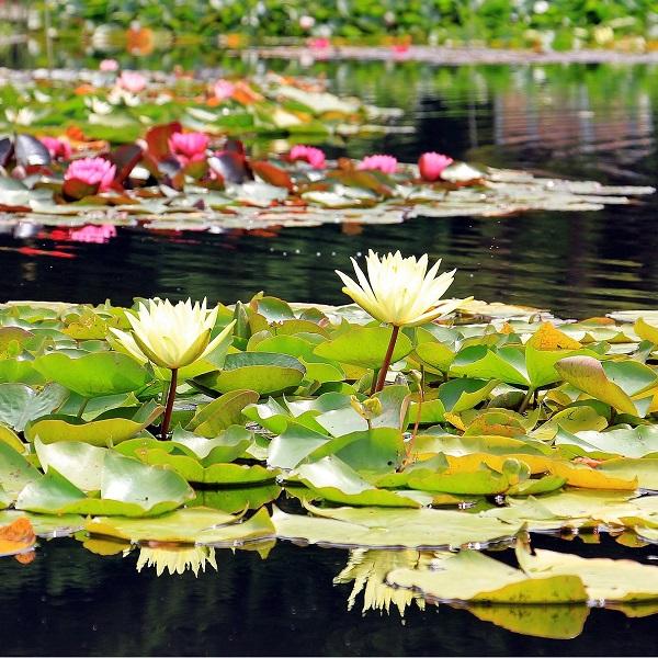 Nenúfar - Nymphaea ampla white - Planta - 13.25€ - Jardimdaceleste.com - Plantas Tropicais & Exóticas!